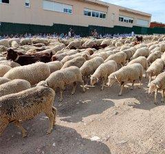 Villanueva de la Cañada | El municipio recibe la visita de un millar de ovejas y cabras trashumantes